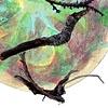See Cicada Sing