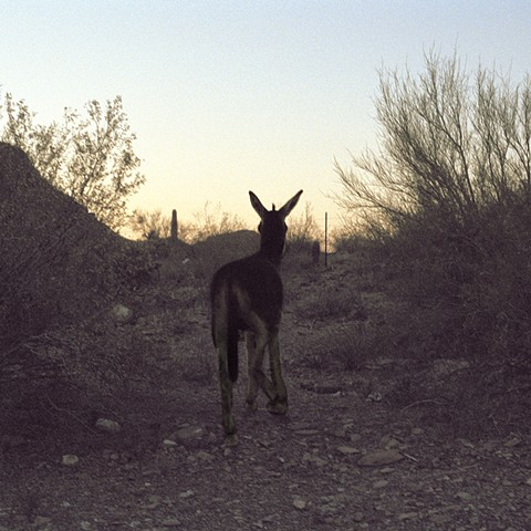 Burro (highway to Puerto Peñasco)