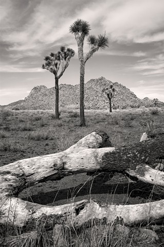 Dead Joshua Tree, Three Psychopomps Joshua Tree National Park, Mojave Desert
