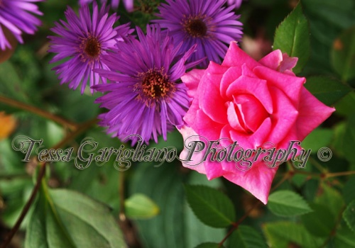 Last Rose