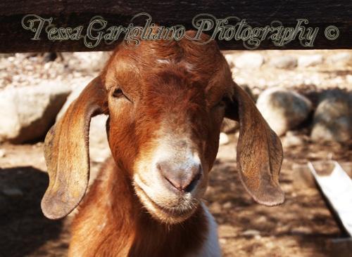 The Modeling Goat