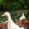 My Duck Friends