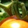 Grandma's Tomatoes