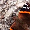 Furry Flutter