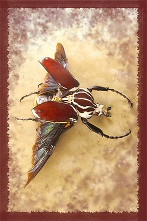 Velvet Red, Rhinoceros Beetle, Steampunk Insect, Steam Punk, Hybrid Insects,  Bug, Insects, Arachnid, Spider, Art, Sculpture, Macabre, Beautiful, Real, Sci-Fi, Surreal, Victorian, Prints, HadalArt.com, Lindsey, Lindsey Bessanson, Bessanson, Framing, Light