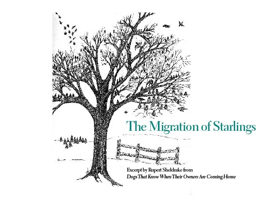 Migration of Starlings, front cover