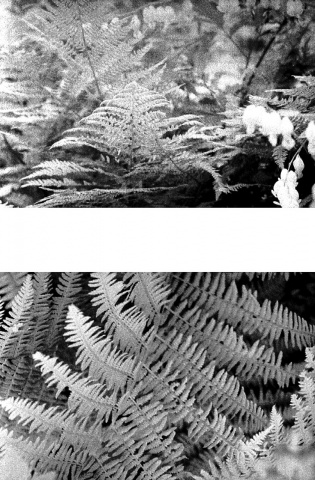 Things in the Yard, Ferns