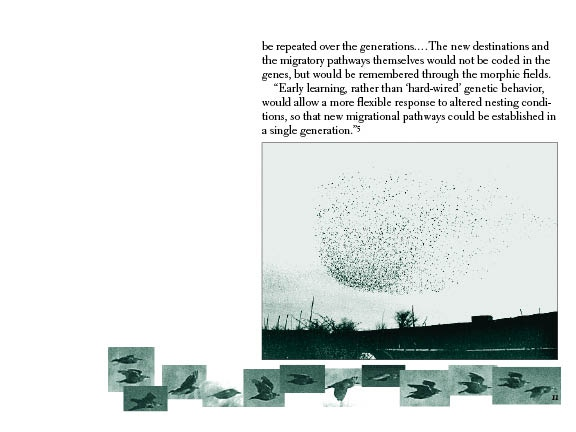 Migration of Starlings #11