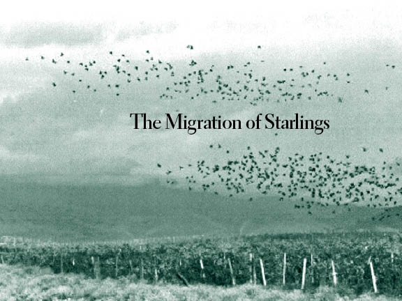 Migration of Starlings #1