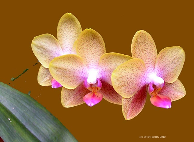 Orchid No. 20