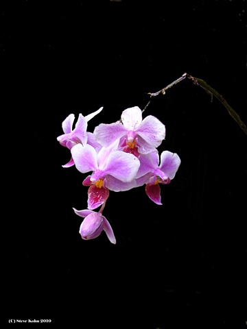 Orchid No. 2