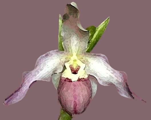 Paphilopedilum No. 9
