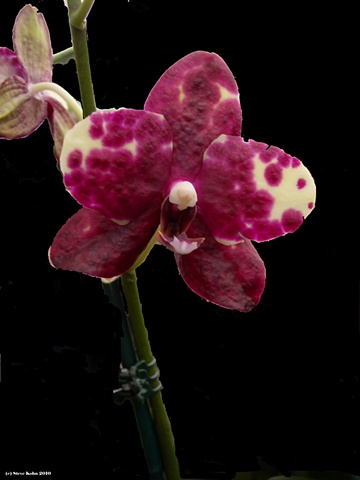 Orchid No. 127