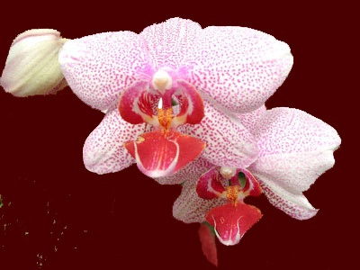 Orchid No. 31