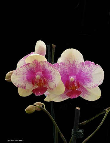 Orchid No. 120