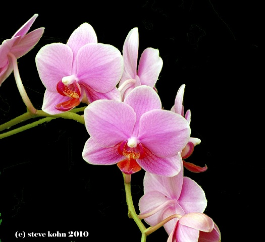 Orchid No. 8