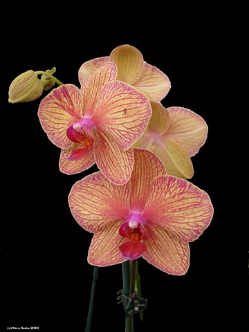 Orchid No. 121