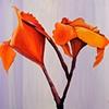 Cana Flowers