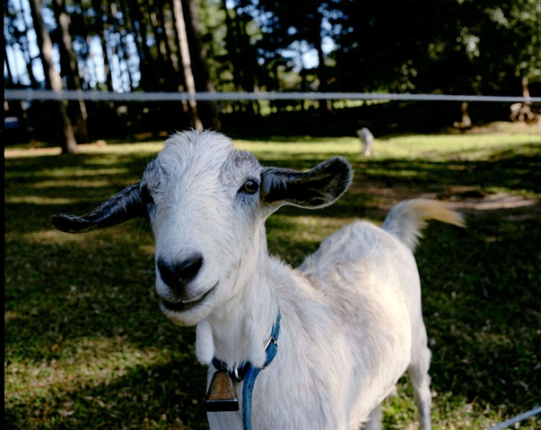 Goat, Palmetto, Georgia; North+South Series, 2008
