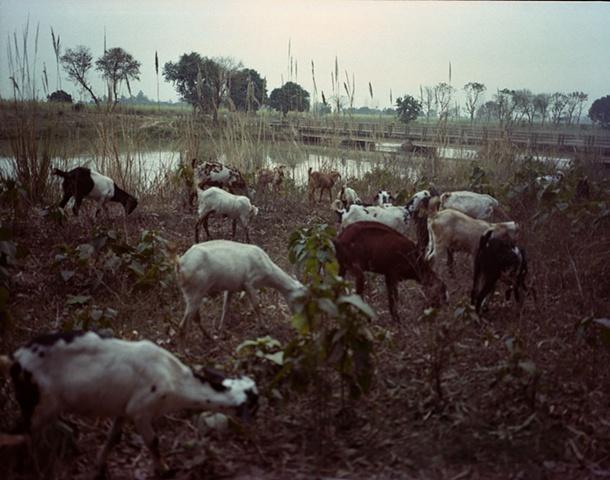 Goats; Dhampur, Uttar Pradesh