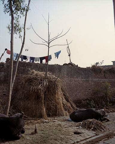 Resting buffalo; Bhojpur, Uttar Pradesh