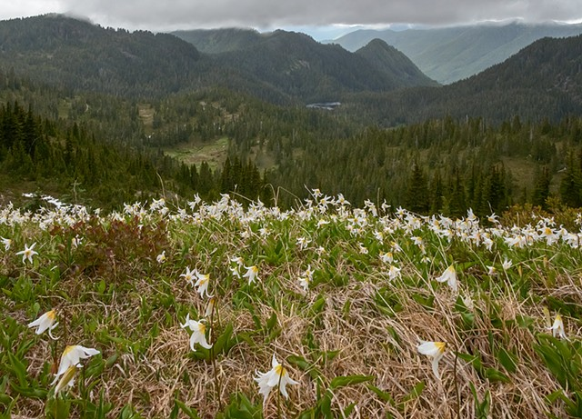 Avalanche Lily over the Valley  June 2019