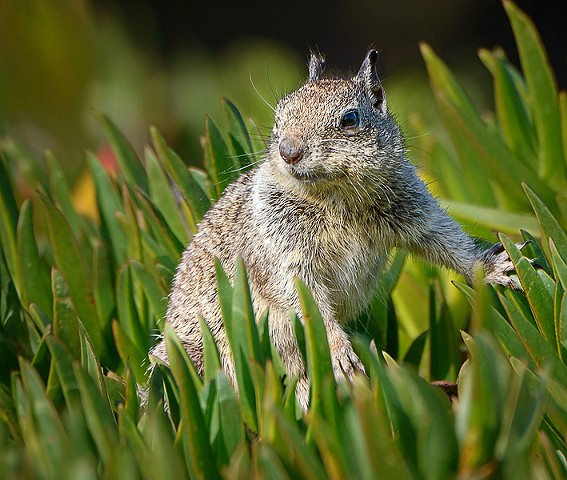 Beach Squirrel  Feb 2018