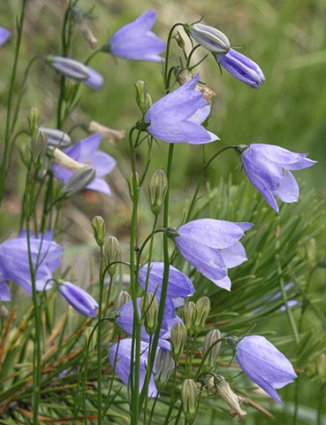 Blue Bells  Aug 2018