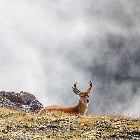 Morning Deer in Fog - Olympic National Park  Sep 2018