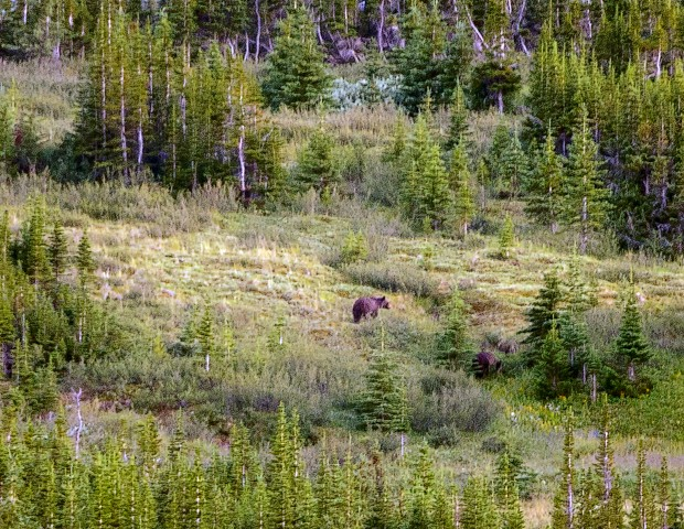 Grizzlies from 2 km  Aug 2018