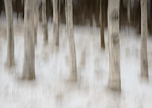 Birch Grove Tree Blur  Nov 2013
