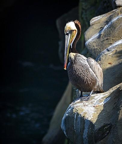 Pelican  Feb 2018