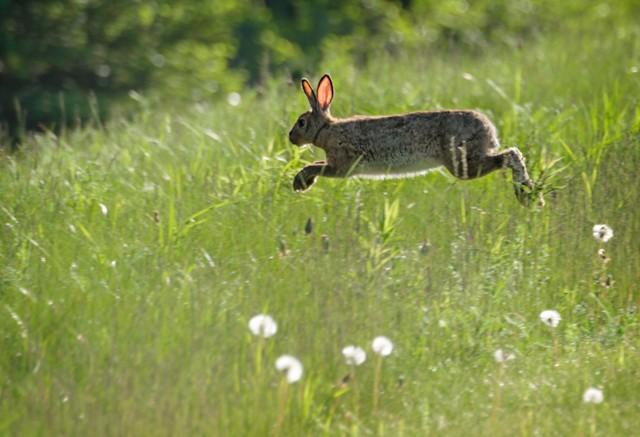 Jumping Rabbit  June 2014