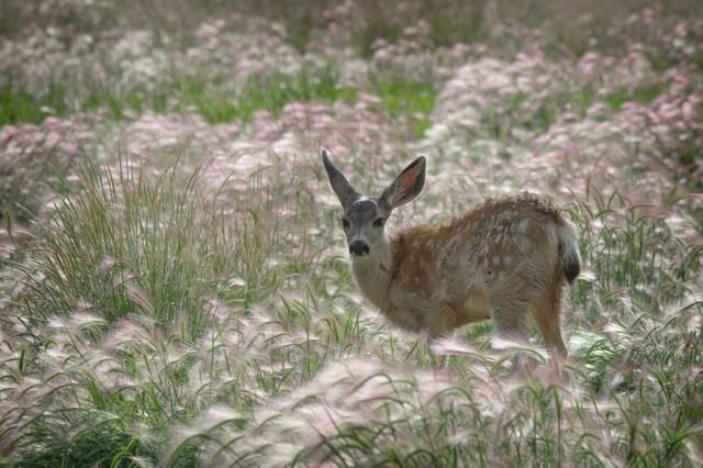 Mule Deer Fawn  Aug 2014
