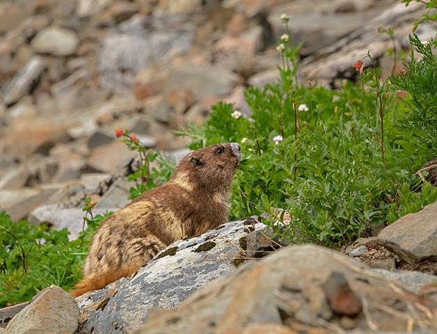 Scruffy Marmot  June 2019