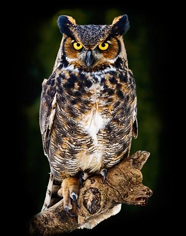 Great Horned Owl  Jan 2010