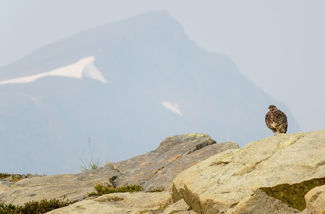 Ptarmigan Guarding the Mountain