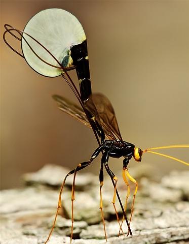 Ichneumon Wasp Ovipositing  May 2009