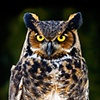 Great Horned Owl  Jan 2010