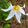 Avalanche Lily  June 2019
