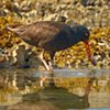 Oyster Catcher with Prey