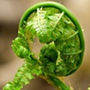 Unfurling Fern  2009