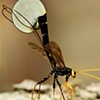Ichneumon Wasp Ovipositing  May 2009