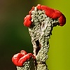 Red Fungus  2009
