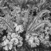 Ansel Adams Exercise - Fern  Sep 2016