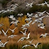 Snow Geese Exploding Nov 11 Bosque del Apache 1176  Nov 2010