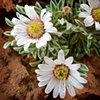 Desert Flower I