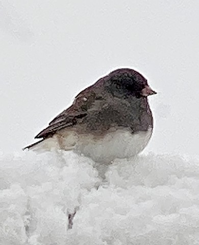 Small junco bird in the snow