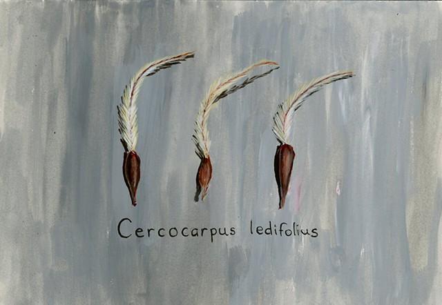 Cercocarpus