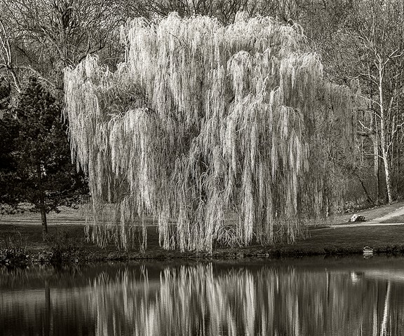 Willow Tree reflection, Hoyt Lake, Delaware Park, Buffalo, N Y